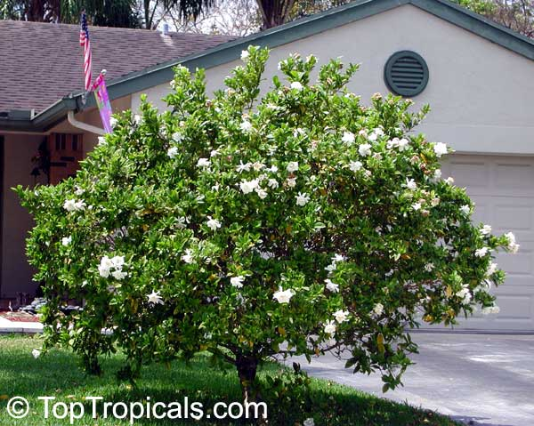 how to look after gardenias