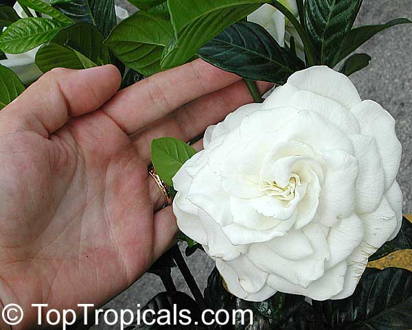 Gardenia Miami Supreme   Grafted, 3 Gal Click To See Full Size Image