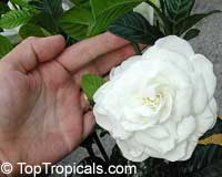 Gardenia Miami Supreme - grafted, 3 gal  Click to see full-size image