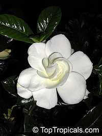 Gardenia jasminoides August Beauty  Click to see full-size image