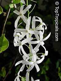 Petrea pubescens, Petrea glandulosa, Petrea volubilis var. alba, Queen's Wreath  Click to see full-size image