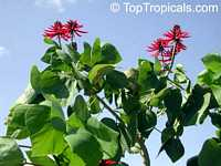 Erythrina sp., Coral Tree  Click to see full-size image