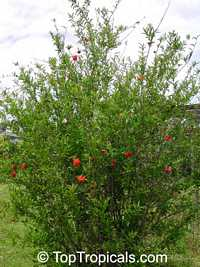 Punica granatum Flore Pleno, Flowering Pomegranate, Noshi Shibari, Double Flower Pomegranate  Click to see full-size image