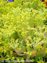 Sedum mexicanum, Mexican SedumClick to see full-size image