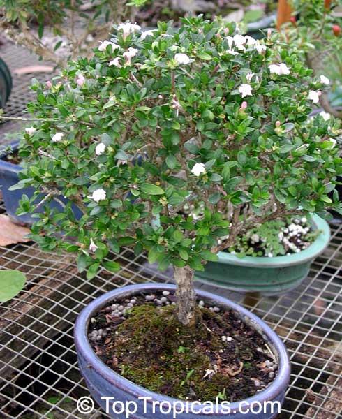 bonsai mightylinksfo