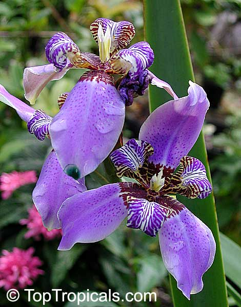 Neomarica caerulea (Walking Iris, Twelve apostles, Apostle Plant) - sono molto stanca stasera, ma questo fiore è veramnete bello vero? dans fiori e piante 4858