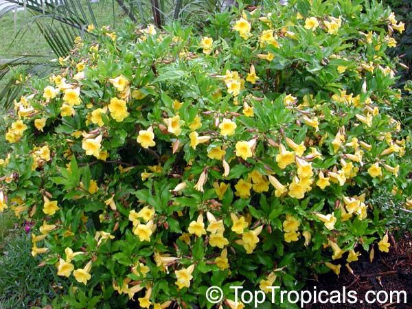 Allamanda Cathartica Allamanda Nerifolia Golden Trumpet