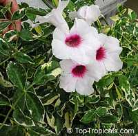 Pandorea jasminoides, Bignonia jasminoides, Tecoma jasminoides, Pandora vine, Bower vine, Southern BellClick to see full-size image