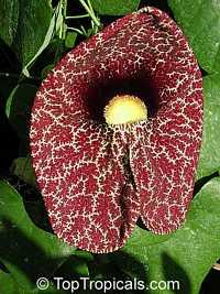 Aristolochia littoralis, Aristolochia elegans, Elegant Dutchmans Pipe, Calico FlowerClick to see full-size image