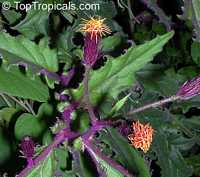 Gynura aurantiaca, Purple Passion