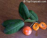Garcinia livingstonei, Lowveld Mangosteen, Imbe, Rheedia  Click to see full-size image