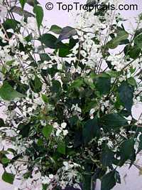 Alternanthera Snow Ball, Alternanthera Snow Ball  Click to see full-size image