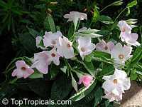 Mandevilla x amoena Alice du Pont, Dipladenia Alice du Pont, Hybrid mandevilla, Pink Chile Jasmine  Click to see full-size image