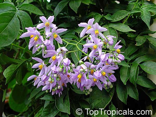Solanum seaforthianum, Brazilian Nightshade, St. Vincent ...