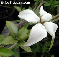Randia formosa, Mussaenda formosa, Randia mussaenda, Rosenbergiodendron formosum, Blackberry Jam Fruit, Jasmin de rosa  Click to see full-size image