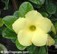 Urechites lutea (Pentalinon luteum) - Yellow Mandevilla  Click to see full-size image