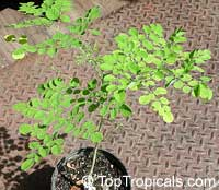 Moringa ovalifolia, Phantom TreeClick to see full-size image