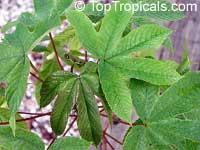 Cochlospermum gillivraei, Kapok  Click to see full-size image