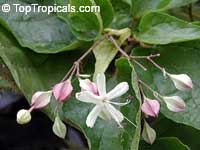 Clerodendrum trichotomum, Harlequin Glory, Clerodendron  Click to see full-size image