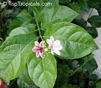 Jasminum sambac Maid of Orleans, Nyctanthes sambac, Maid of Orleans, Arabian Jasmine, Hawaiian Pikake, Sampaguitas, Sumpa Kita