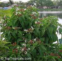 Clerodendrum minahassae, Fountain Clerodendrum, Clerodendron, Tube Flower  Click to see full-size image