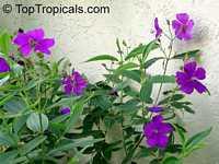 Tibouchina urvilleana, Tibouchina semidecandra, Lasiandra semidecandra , Glory Flower, Princess Flower  Click to see full-size image