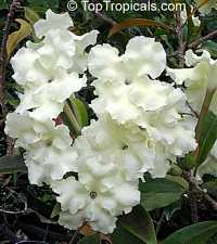 Brunfelsia gigantea - Lady of the Night
