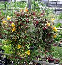 Impatiens repens - Balsam, Busy Lizzie  Click to see full-size image
