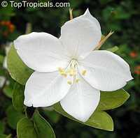 Bauhinia acuminata, Dwarf White Orchid Tree, White Bauhinia, Kaa-long, Snowy Orchid