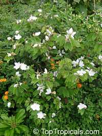Bauhinia acuminata, Bauhinia racemosa, Dwarf White Orchid Tree, White Bauhinia, Kaa-long, Snowy OrchidClick to see full-size image