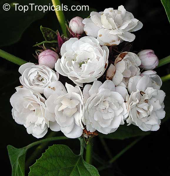TopTropicals.com - rare plants for home and garden