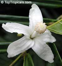 Quararibea funebris - Rosita de Cacao, Funeral tree  Click to see full-size image