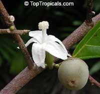Quararibea funebris, Rosita de Cacao, Cabezona, Molinillo, Funeral TreeClick to see full-size image