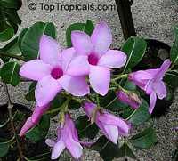 Cryptostegia grandiflora, Rubber vine, Purple Allamanda  Click to see full-size image