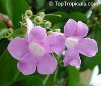 Mansoa alliacea, Pachyptera hymenaea, Pseudocalymma alliacea, Cydista aequinoctialis, Garlic Vine, Cipo de Alho, Equinox Vine, Cydista  Click to see full-size image