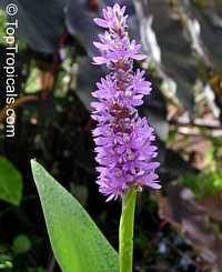 Pontederia cordata, Pickerel Plant, Pickerelweed, Blue Pickerel  Click to see full-size image