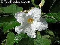 Cordia boissieri, Texas Olive, AnacahuitaClick to see full-size image