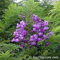 Jacaranda mimosifolia, Jacaranda mimosafolia, Jacaranda acutefolia, Jacaranda
