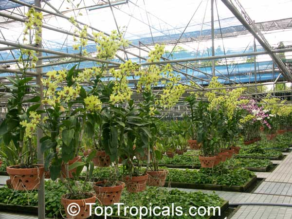 Orchids In Thailand Toptropicals