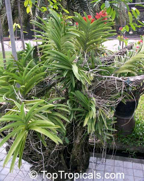 Saving A Vanda Orchid From Fusarium Rot