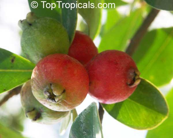 Psidium littorale - семена.  Вечнозеленый кустарник или небольшое дерево.