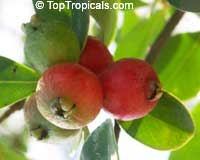 Psidium cattleanum, Psidium littorale, Psidium chinense, Cattley Guava, Sand Plum, Strawberry Guava