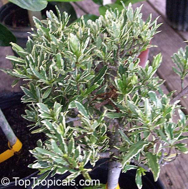 Gardenia radicans, Gardenia prostrata, Dwarf Gardenia ...Gardenia Jasminoides Radicans Variegata
