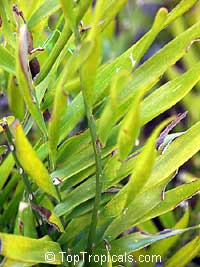 Zamia integrifolia, Zamia floridana, Coontie, Coontie Palm, Koonti  Click to see full-size image