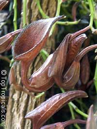 Aristolochia maxima, Dutchman's Pipe  Click to see full-size image