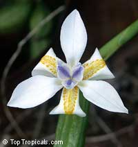 Dietes iridioides Amatola, African Iris, Fortnight Lily, Morea Iris  Click to see full-size image