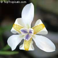 Dietes iridioides Amatola, African Iris, Fortnight Lily, Morea Iris