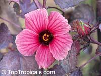 Hibiscus acetosella, African Rosemallow, Maple Sugar, Red Hibiscus, Cranberry Shield, Gongura