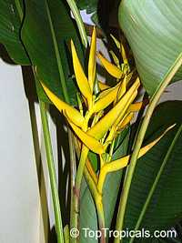 Heliconia angusta, Christmas Heliconia  Click to see full-size image