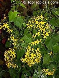 Senecio mikanioides, Delairea odorata, German Ivy, Water Ivy, Parlor Ivy  Click to see full-size image